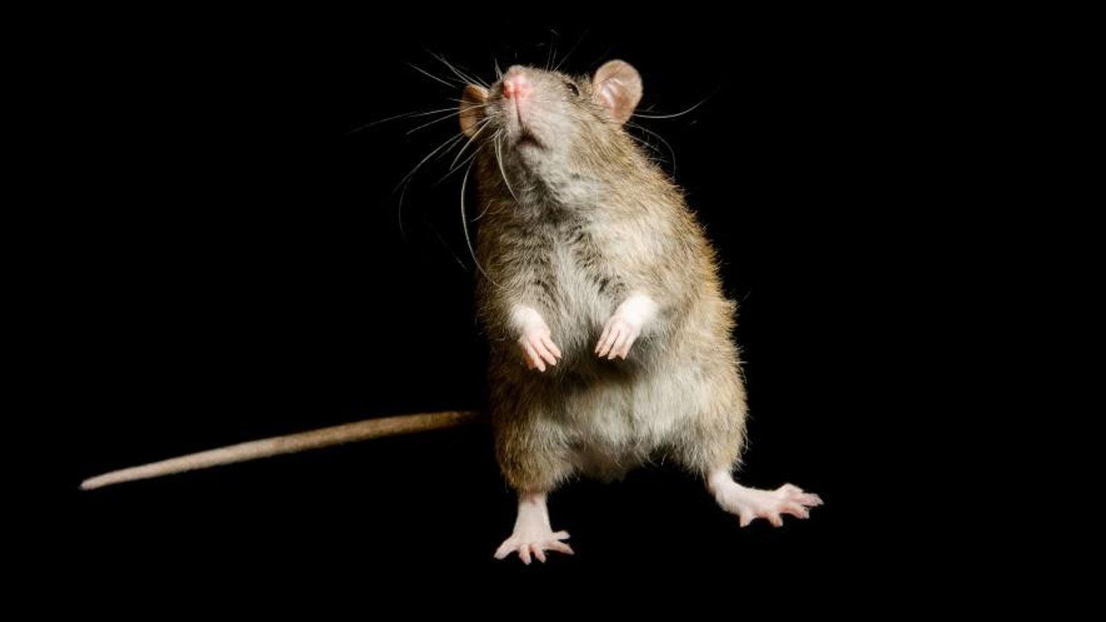 Un rat des champs (Rattus rattus) photographié au centre de recherche George M. Sutton Avian.