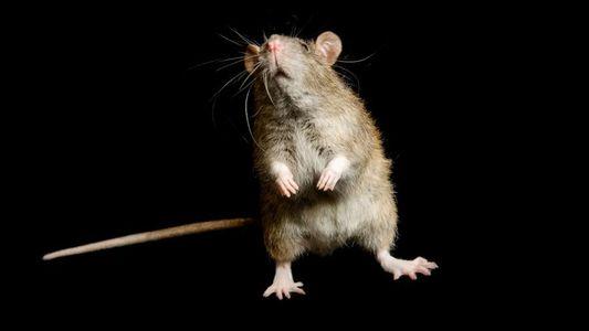 Les rats ne seraient pas responsables de la peste noire