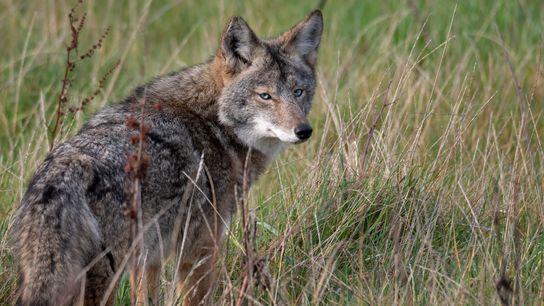 Ce coyote, rare en raison de ses yeux bleus, a été photographié à Point Reyes National ...