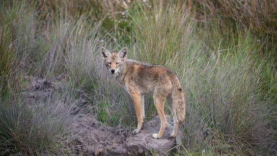 En avril dernier, un coyote aux yeux d'une couleur inhabituelle a été observé en Californie.