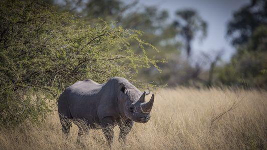 Botswana : les rhinocéros noirs sont évacués pour échapper aux braconniers