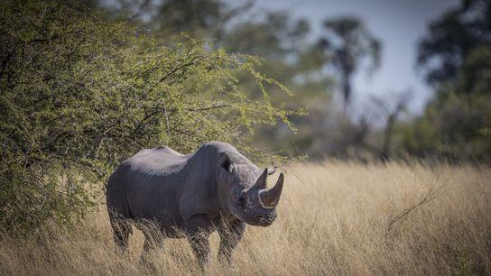 En danger critique d'extinction, les rhinocéros noirs sont ciblés pour leurs cornes par les braconniers du ...