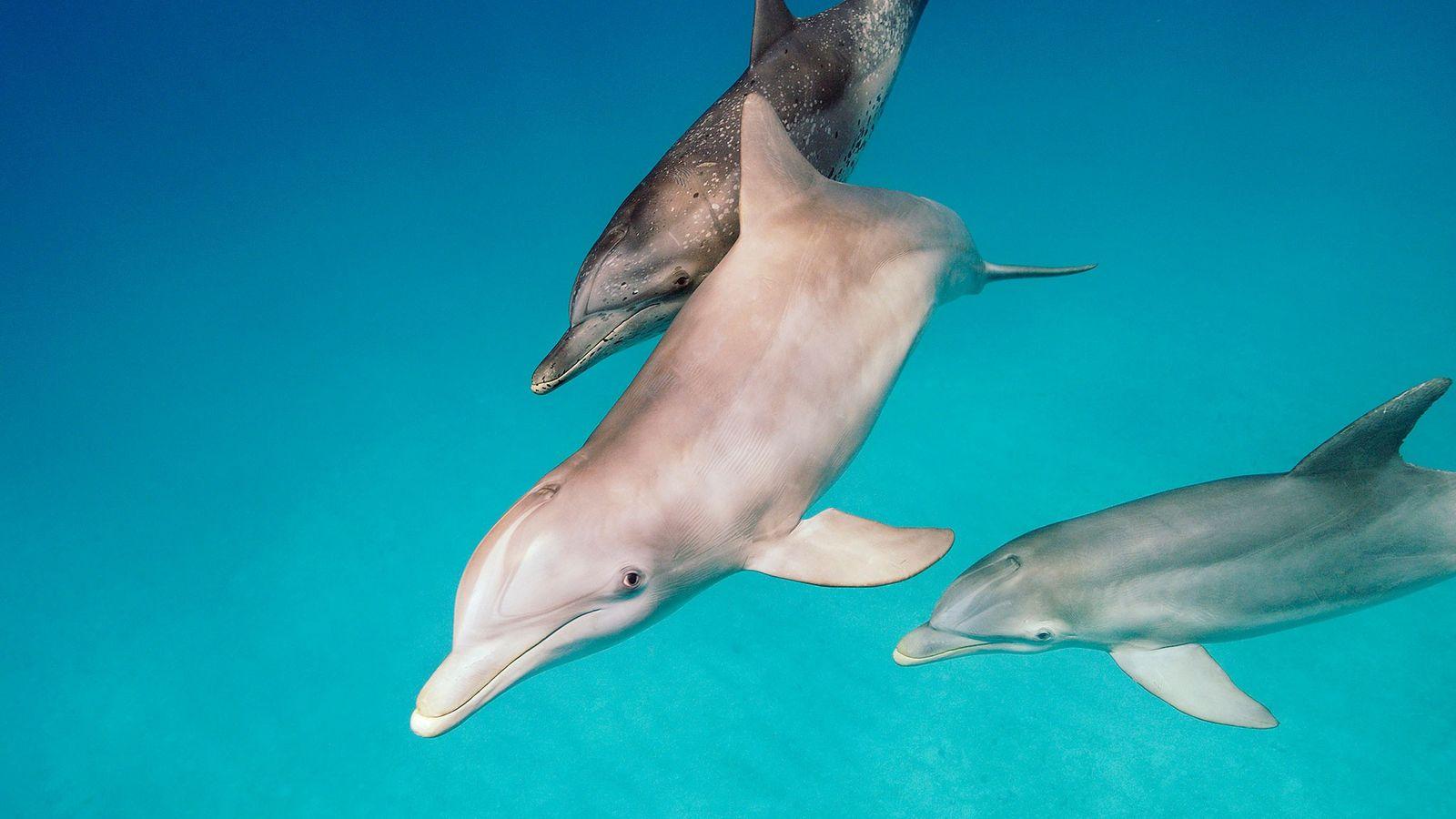 Les tursiops, que l'on voit ci-dessus au premier plan accompagné d'un dauphin tacheté de l'Atlantique (derrière), ...