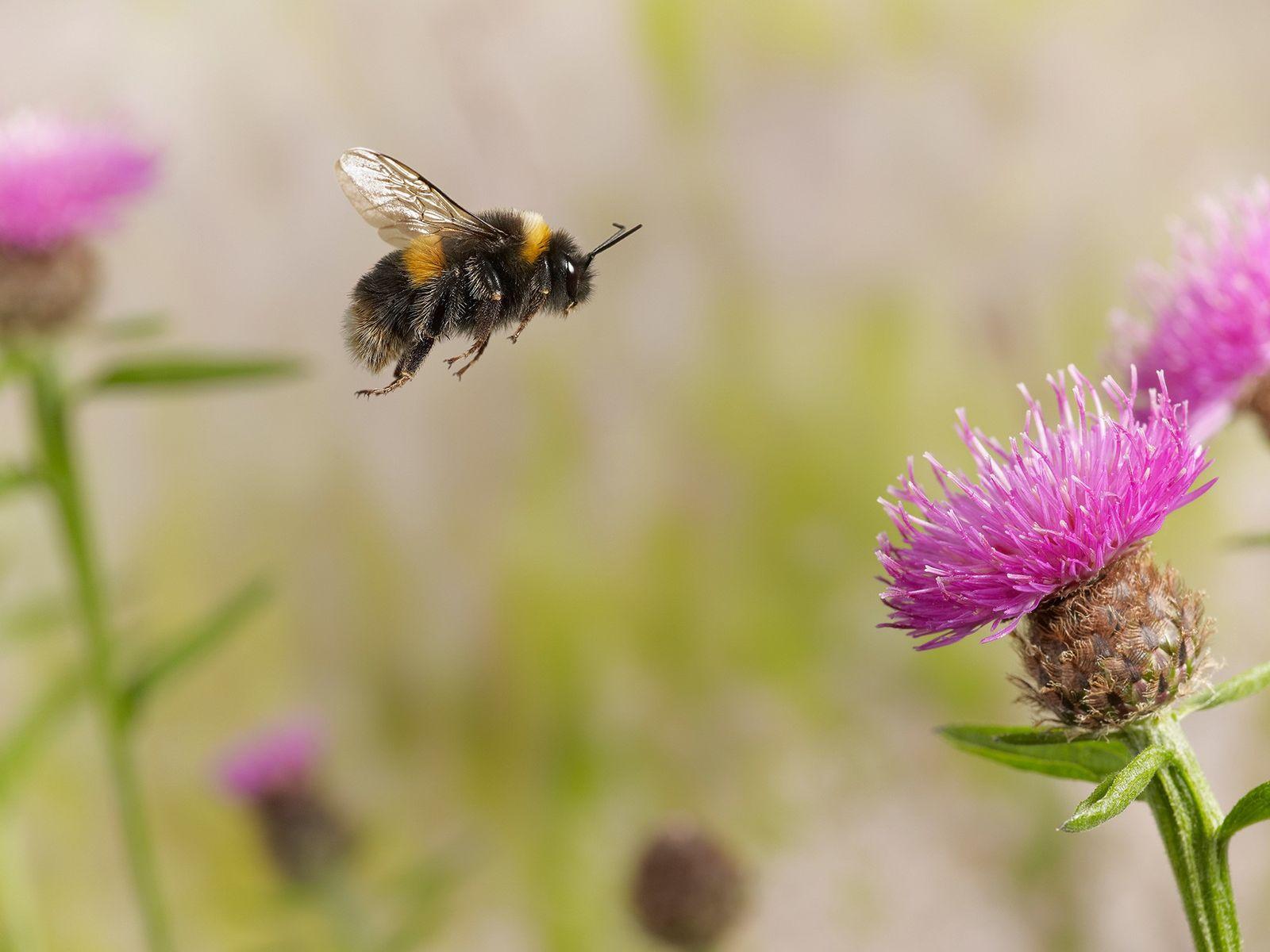 Un bourdon terrestre vole parmi les fleurs en Angleterre. De nombreuses espèces de bourdons sont en déclin ...