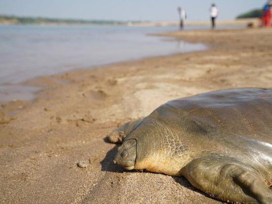 Au Cambodge, la population de tortues géantes repart à la hausse