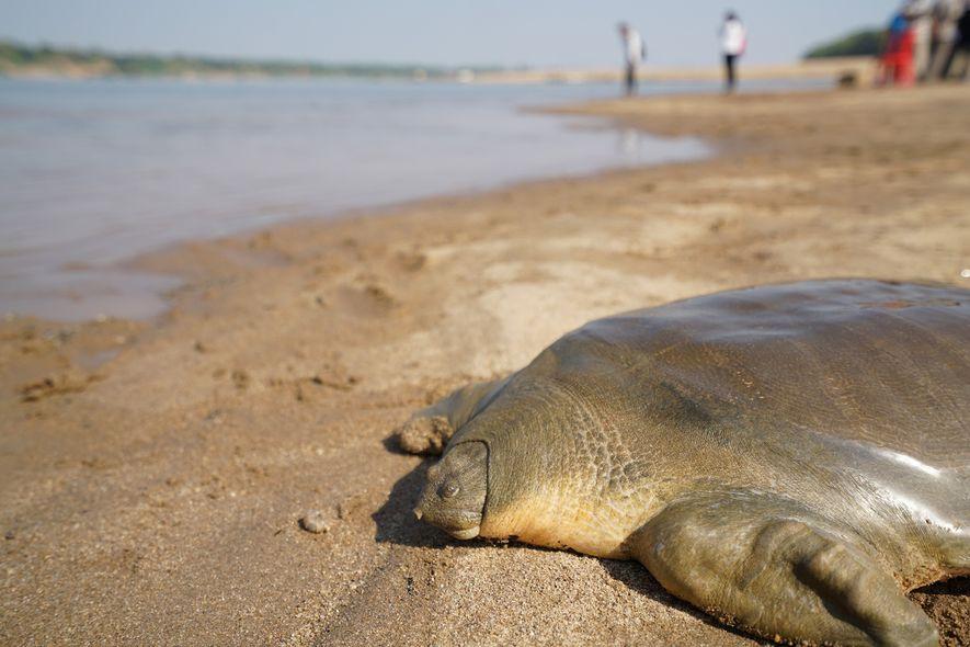 Les pêcheurs cambodgiens ont vendu la tortue à carapace molle de Cantor à un restaurant, mais ...