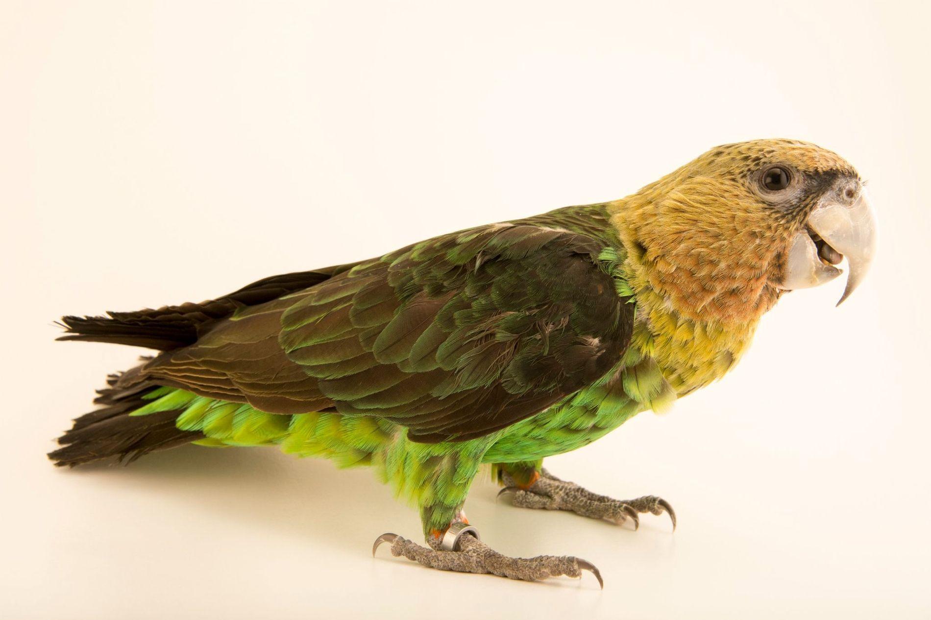 Un perroquet robuste en captivité pose pour son portrait à la fondation du Loro Parque dans ...