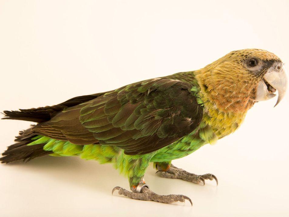 Le perroquet robuste d'Afrique du Sud pourrait bientôt disparaître
