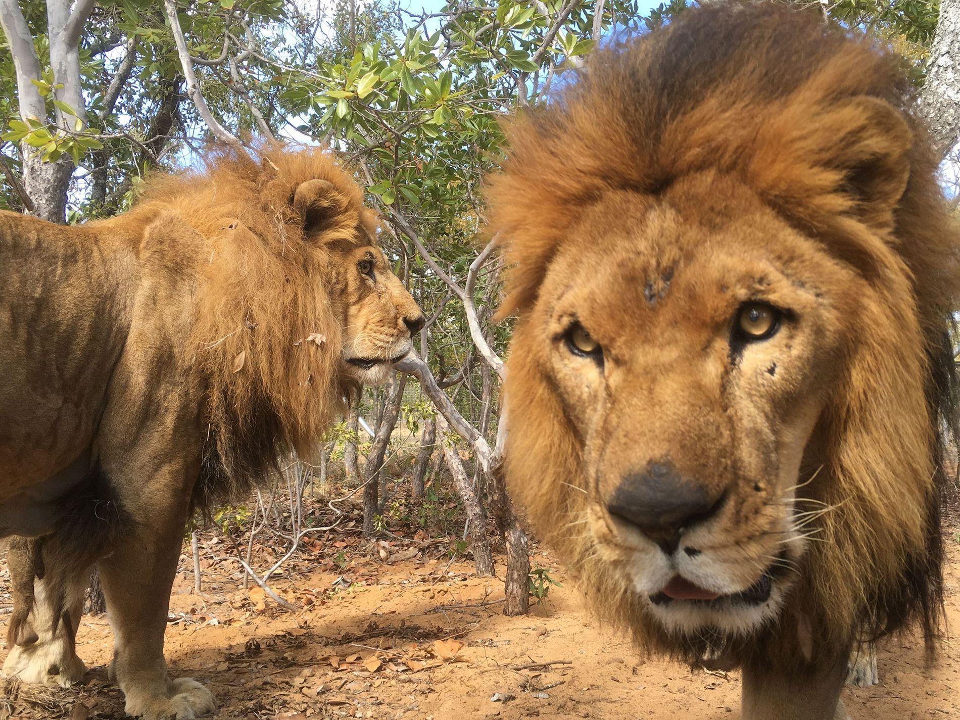 José, à gauche, et Liso, deux lions rescapés d'un cirque, devaient passer le restant de leurs ...