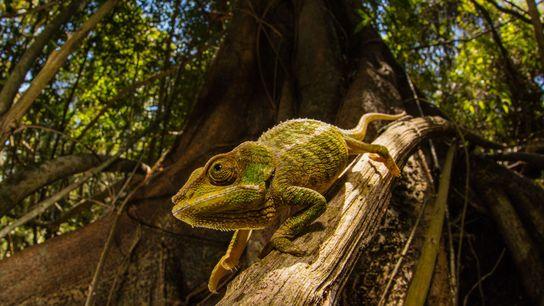 Les caméléons peuvent changer la couleur de leur peau en fonction de leur environnement. Une nouvelle ...