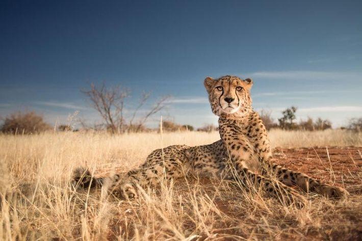 Un guépard pose en Namibie.