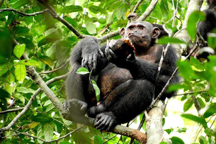 Pandi, un adulte mâle chimpanzé a été observé en train de briser puis manger 20 tortues, ...