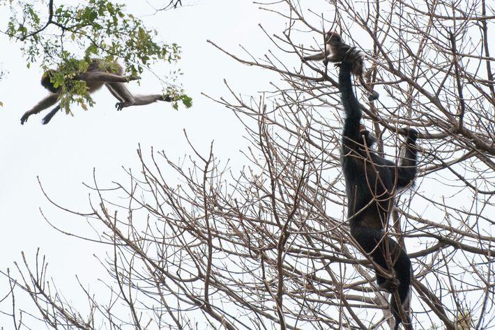 Un chimpanzé attrape un jeune colobe rouge au cours d'une chasse.