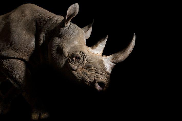 Une femelle rhinocéros noire de l'Est (Diceros bicornis michaeli) baptisée Imara au Great Plains Zoo du ...
