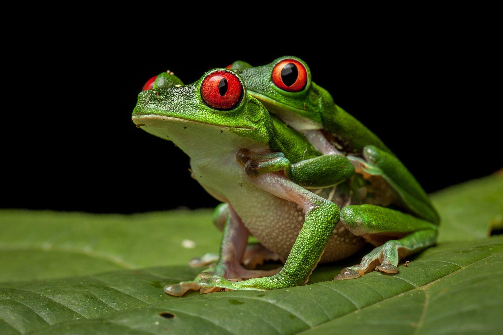 Chez de nombreuses espèces de grenouilles, le geste le plus romantique prend la forme d'un amplexus, ou un long câlin. Ci-dessus deux rainettes aux yeux rouges (Agalychnis calidryas) en plein amplexus, au Costa Rica.