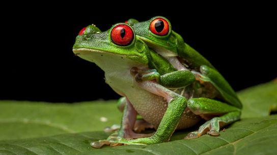 Chez de nombreuses espèces de grenouilles, le geste le plus romantique prend la forme d'un amplexus, ...