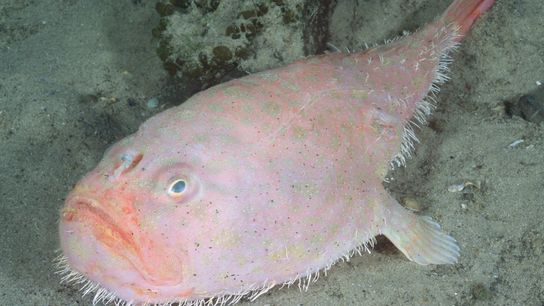 The endeavour coffinfish (Chaunax endeavouri) is one of more than 20 coffinfish species. The animals have ...