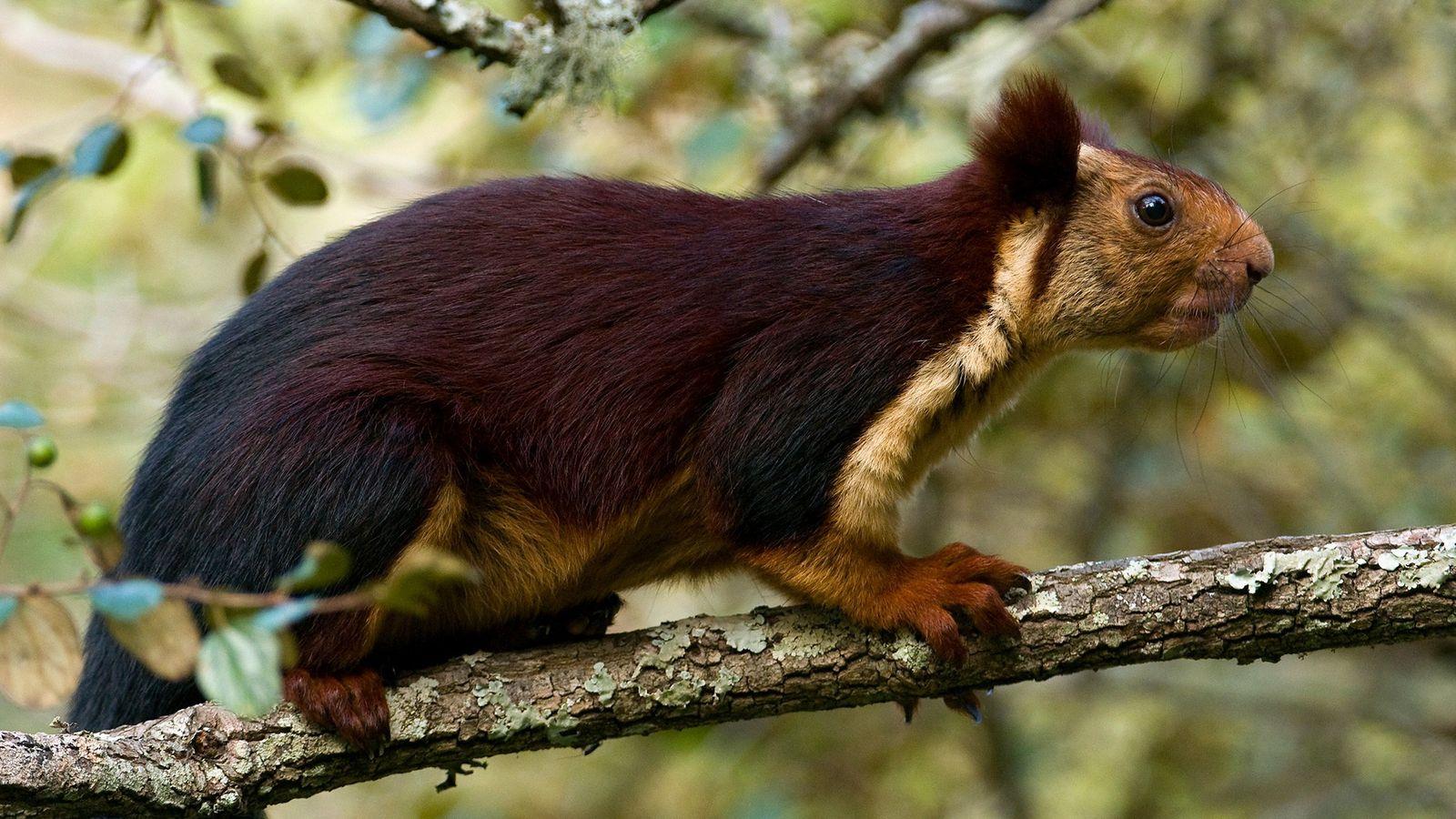 Cette photo d'un écureuil géant d'Inde a été prise dans l'État de Karnataka, en Inde. Ces ...