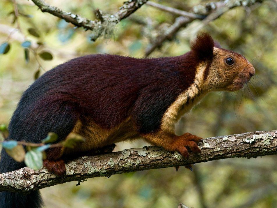 Les écureuils violets géants existent bel et bien