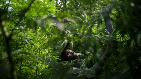 Un membre d'un village pygmée cultive les plantes de marijuana qu'il cultive secrètement dans le parc ...