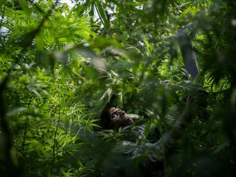 Au cœur des Virunga, les Pygmées cultivent de la marijuana pour survivre