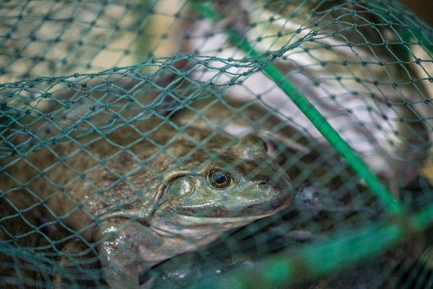 Des grenouilles vivantes en vente dans le marché de Shanghai le 26 janvier, le jour où ...