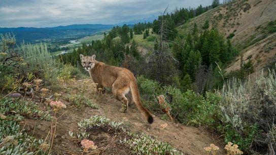 Un puma erre dans le parc national du Grand Teton, dans le Wyoming.
