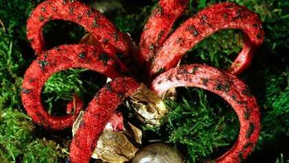 Doigts du diable : ces tentacules appartiennent... à un champignon