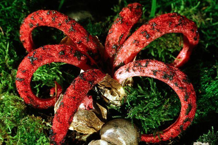 Un Anthurus d'Archer étend ses tentacules recouverts de slime.