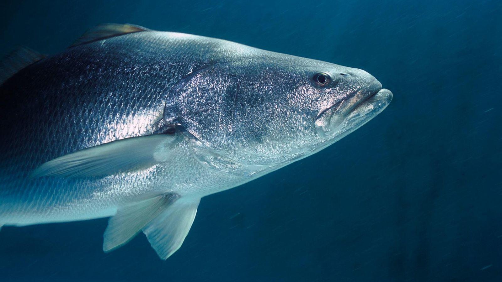 Le totoaba est un grand poisson argenté très prisé dans la médecine chinoise pour sa vessie ...