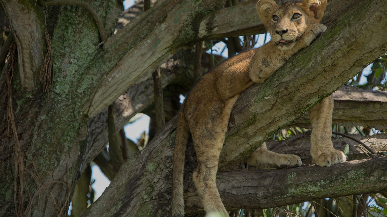 La semaine dernière, dans le parc national Queen Elizabeth en Ouganda, huit lionceaux sont morts, certainement ...
