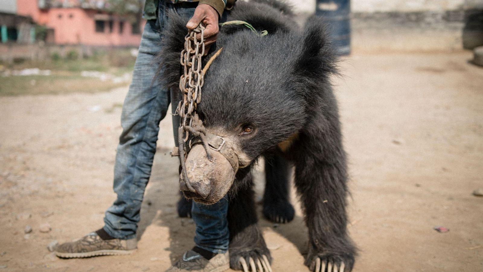 Rangeela (ours lippu mâle) avec un de ses propriétaires - Il était forcé à divertir des ...