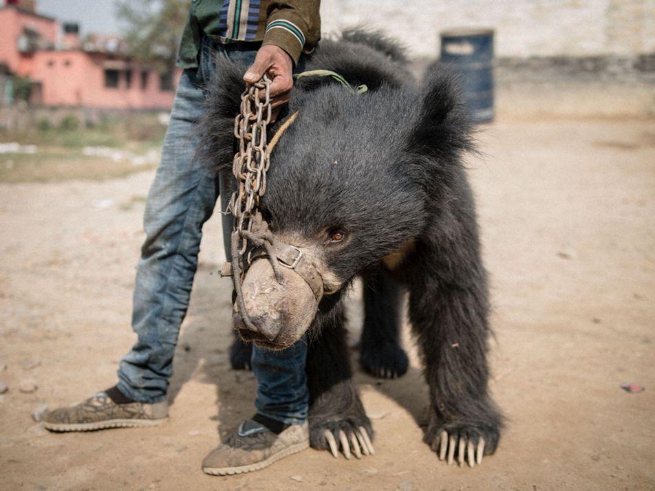 Les derniers ours dansants du Népal ont été libérés