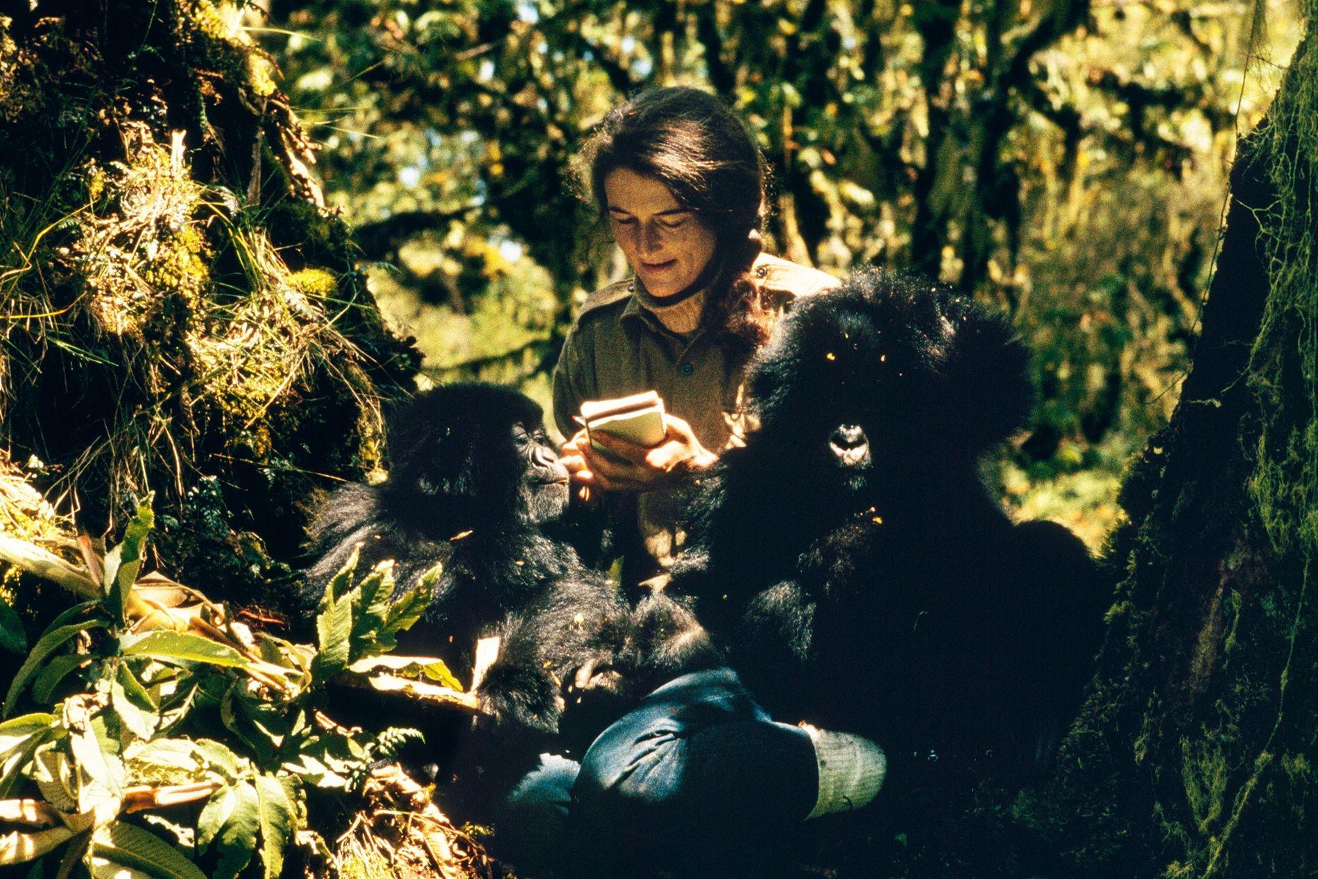 Dian Fossey veille sur Pucker Puss, un gorille de montagne femelle âgé de deux ans, et ...