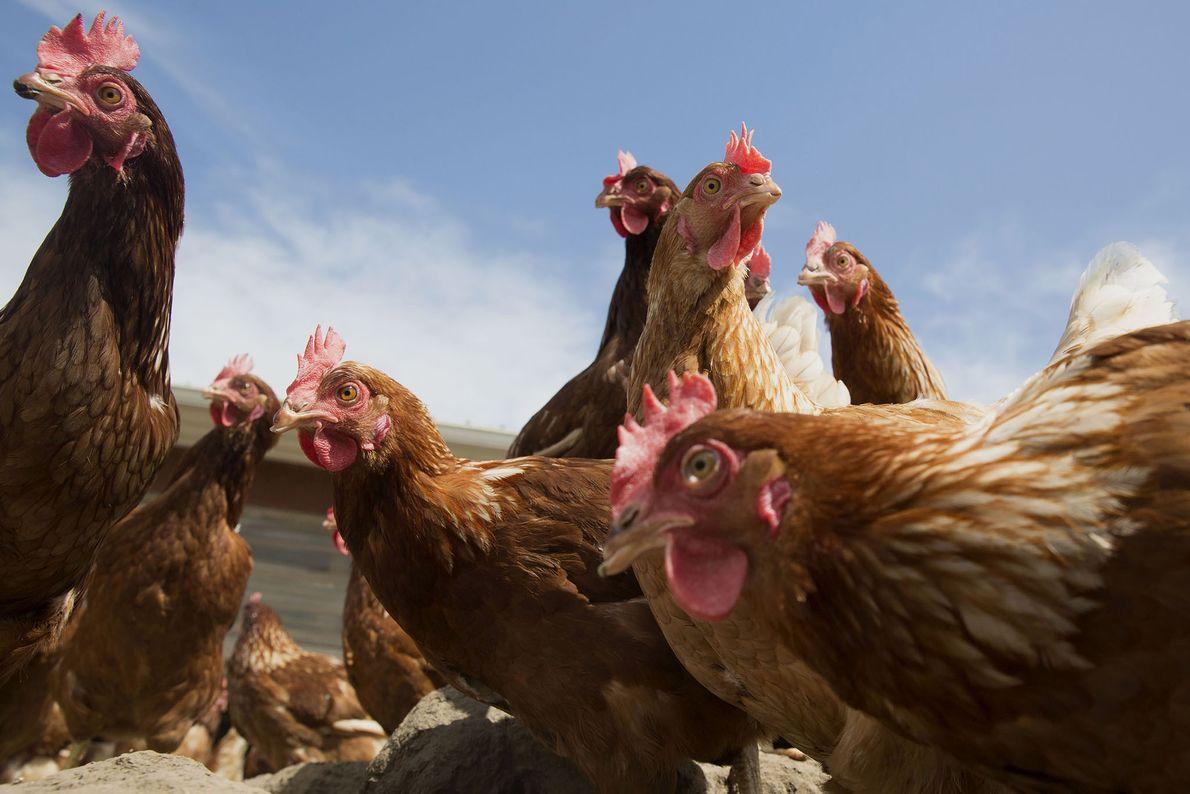 Des poules Lohmann Brown picorent devant au soleil dans l'exploitation Meadow Haven Farmin Sheffield, située dans ...