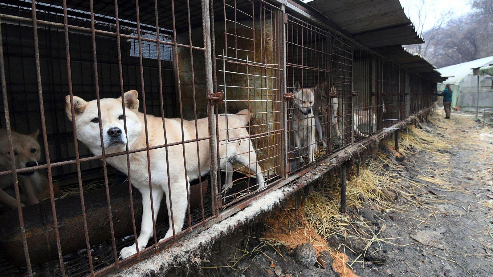 En 2017, des défenseurs des animaux se sont rendus dans un élevage de viande canine, situé ...