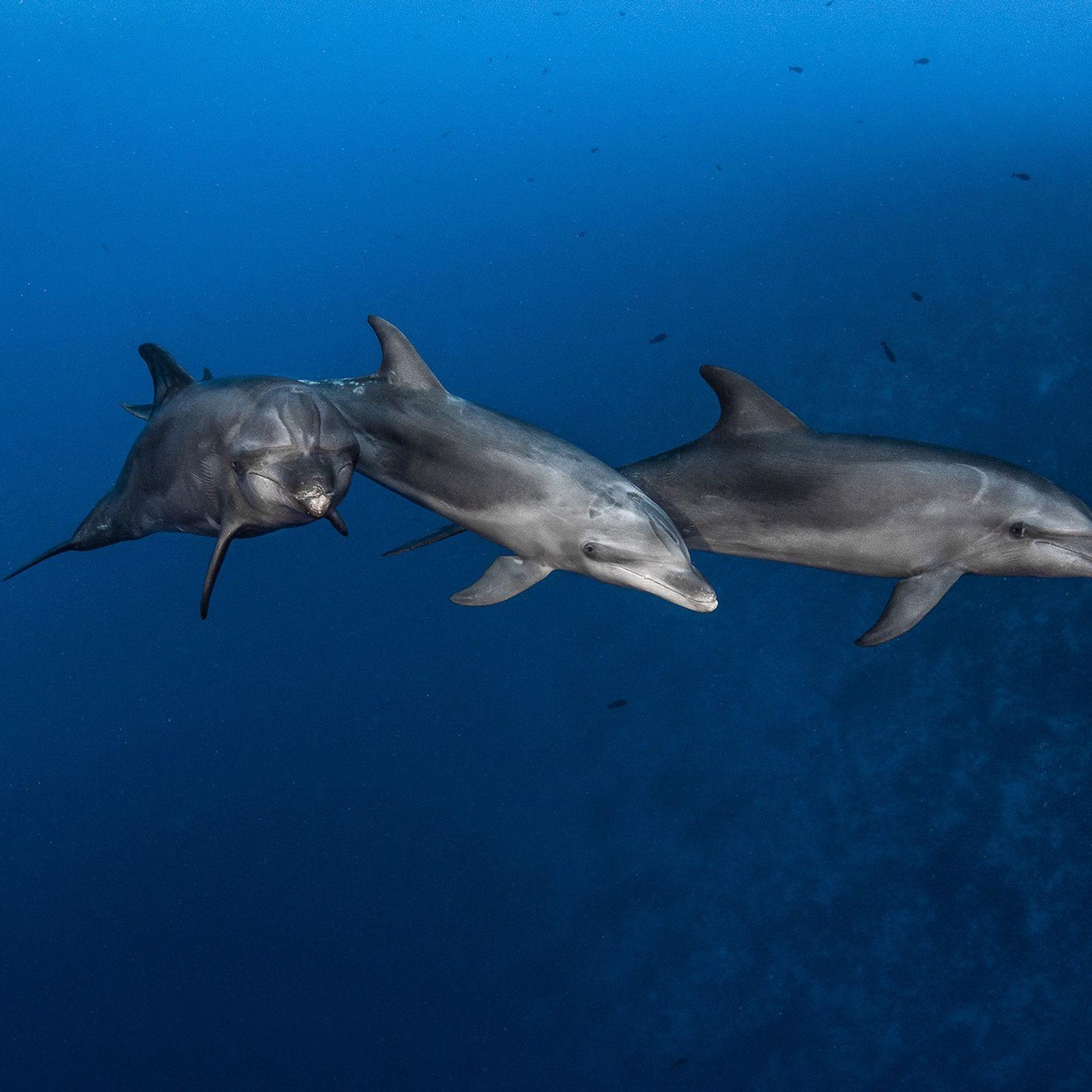 L'heure est à la chasse pour ces trois grands dauphins au large de l'atoll Rangiroa en ...
