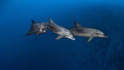Comme les grands singes, les dauphins savent se servir d'outils