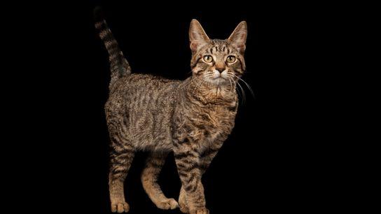 01-domestic-cat-history