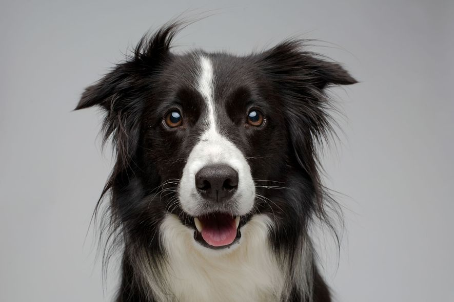 Un border collie pose pour la photo. Les chiens domestiques sont beaucoup plus enclins à interagir ...