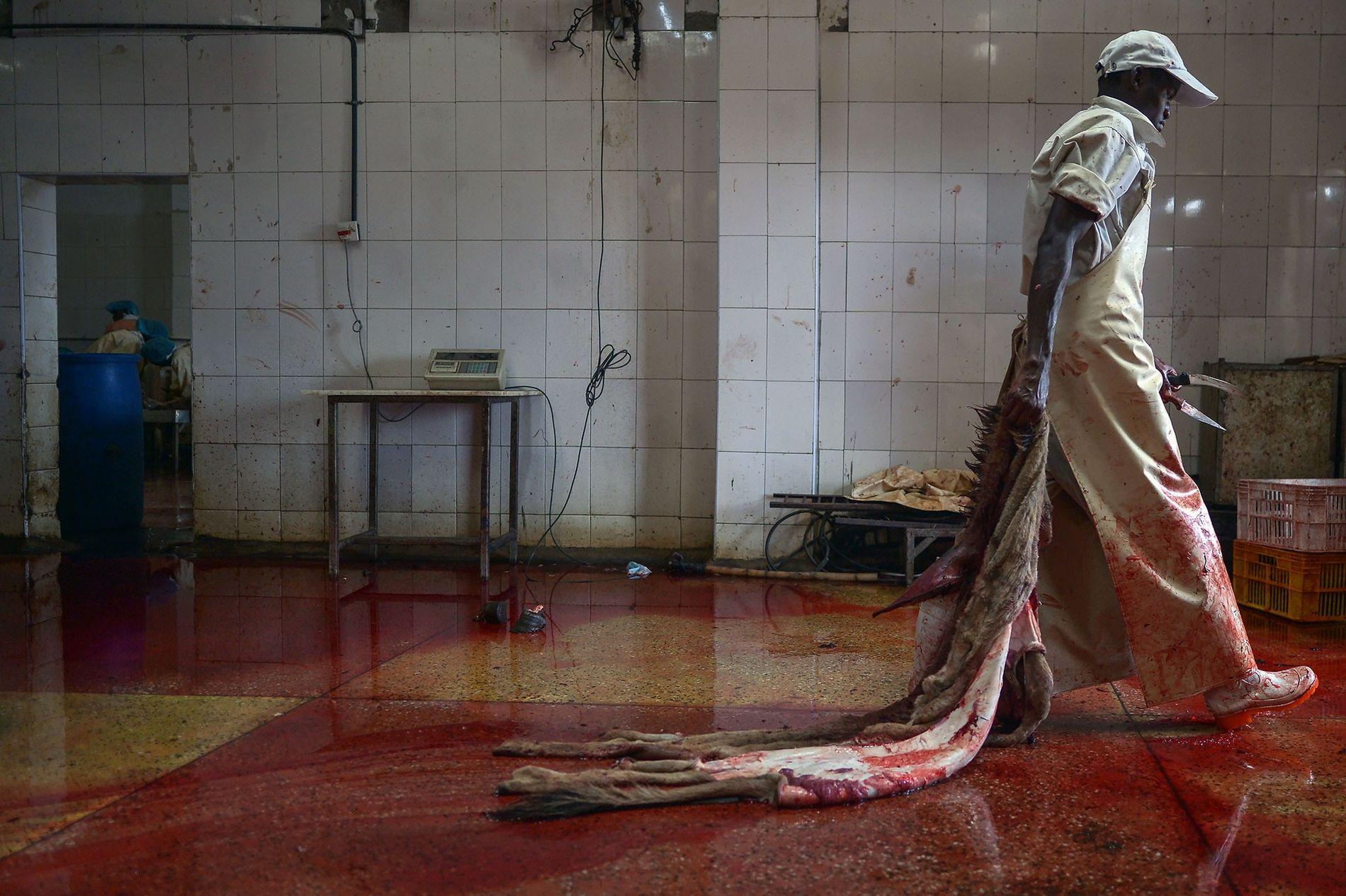 Destinées à la fabrication d'un remède traditionnel, les peaux d'ânes sont très prisées en Chine. Alors que le pays fait face à une pénurie d'ânes, de plus en plus de peaux sont importées de l'étranger. Ci-dessus, dans un abattoir d'ânes agréé situé au Kenya, un ouvrier porte une peau sur le point d'être traitée.