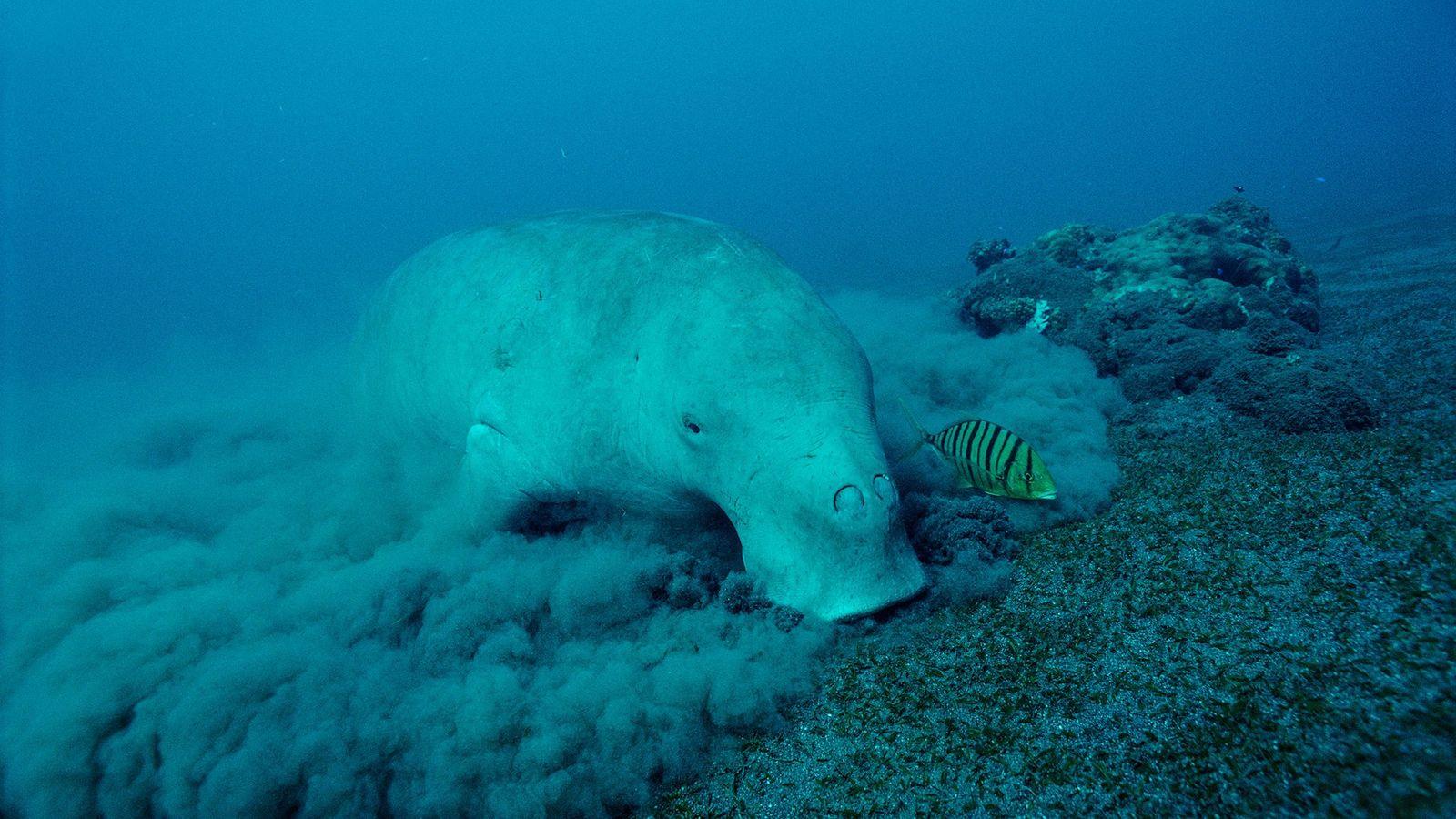 01-dugong-calves