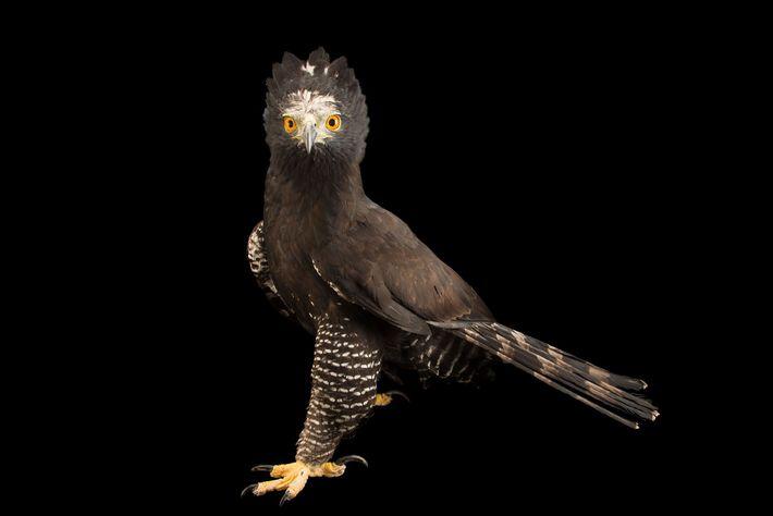 Un aigle tyran, Spizaetus tyrannus, exhibe son sublime plumage au Parque Jaime Duque, un parc d'attraction ...