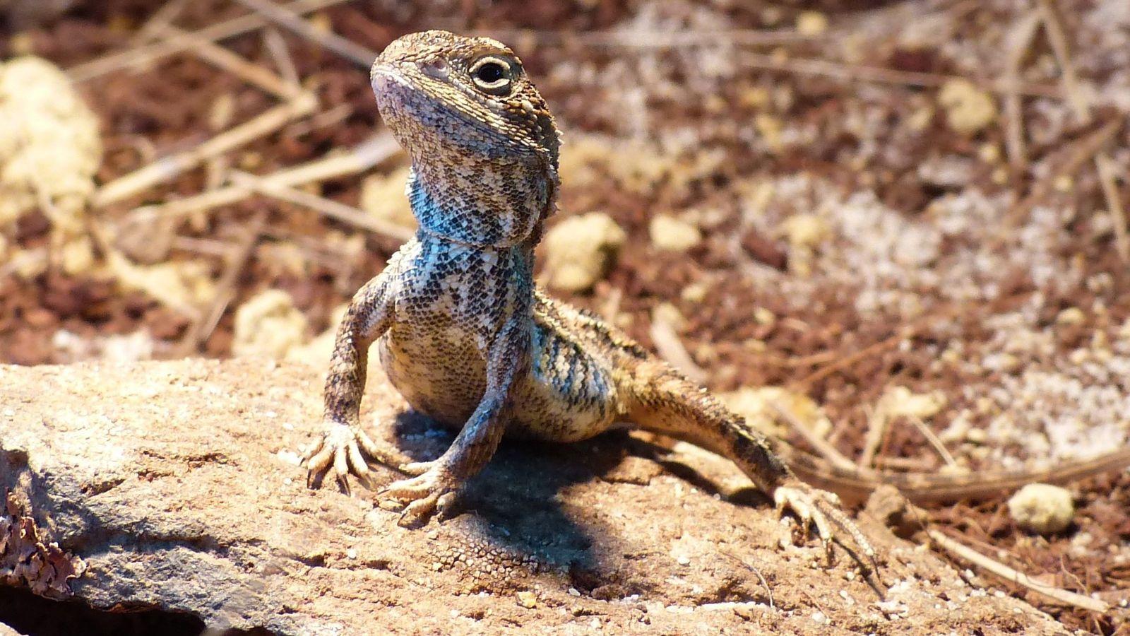 Une femelle « dragon sans oreille » se faufile dans les prairies en bordure de Canberra, ...