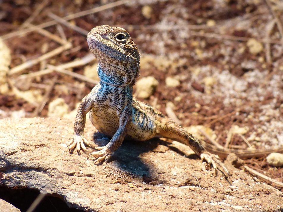 """Cette nouvelle espèce de """"dragon"""" pourrait déjà être menacée d'extinction"""
