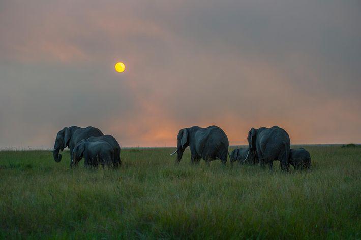 Les éléphants pouvant parcourir jusqu'à 80 kilomètres par jour, nombreux sont ceux qui franchissent les frontières ...
