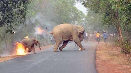 En Inde, les violences contre les éléphants se multiplient