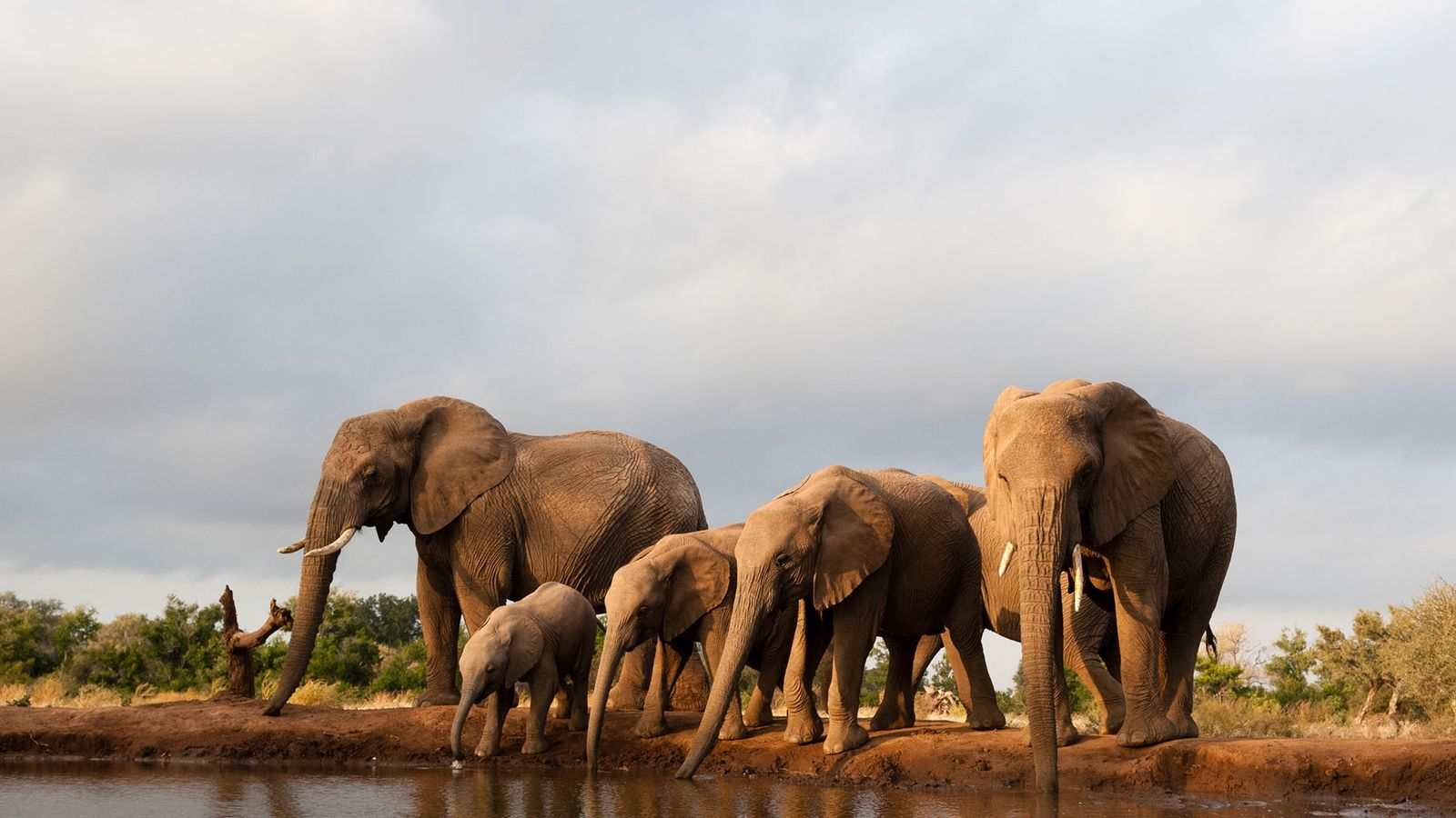 Selon Mike Chase, directeur d'Elephants Without Borders, la plupart des éléphants abattus récemment ont été pris ...