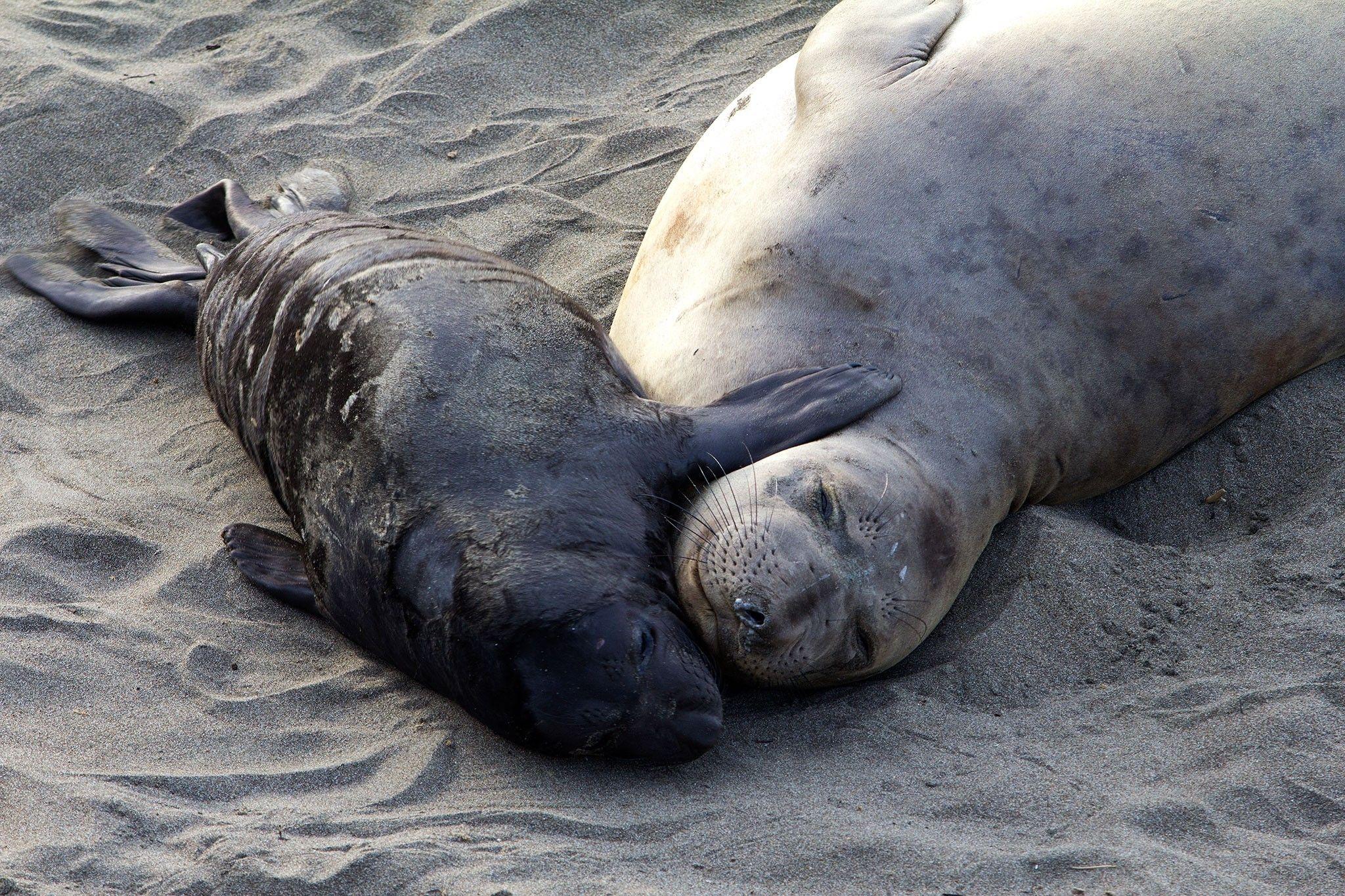 La plupart des éléphants de mers naissent grâce à des super-mamans   National Geographic