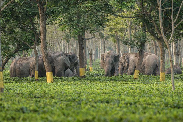Les éléphants utilisent les plantations de thé comme repère lorsqu'ils parcourent les forêts et les femelles ...